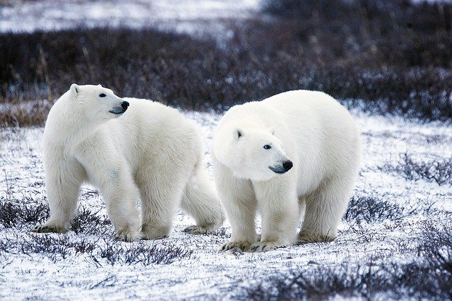 polar animal names in german: polar bear is eisbär
