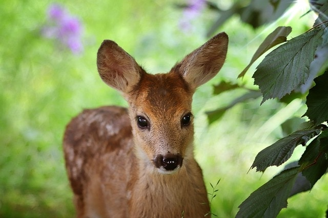 words of endearment in french: my roe deer