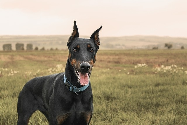 german dog names doberman
