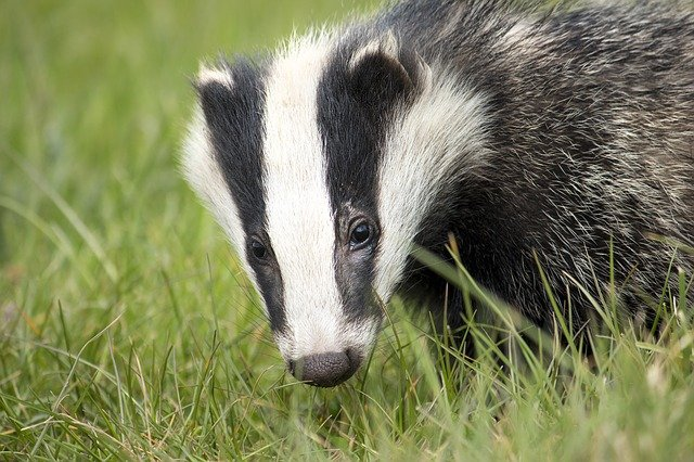forest animals in french - badger = blaireau